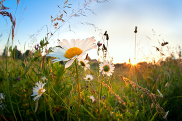 gold sunset over chamomile flowers