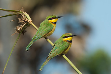 2 Little-Bee Eaters (Merops pusillus) perching on a stalk of gra