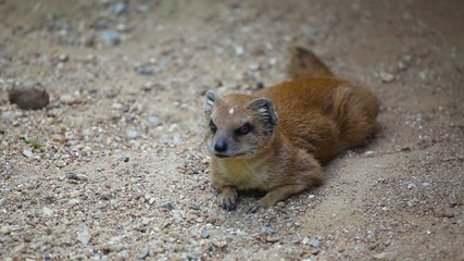Yellow mongoose lurking in the sand