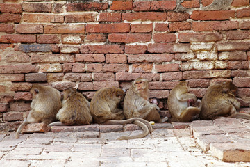 six monkey and red brick wall in thailand