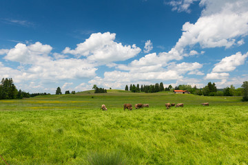 cows on large meadow with green grass and blue sky at spring
