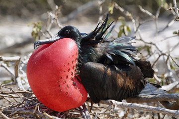 Great Frigate Bird Exposing its pouch