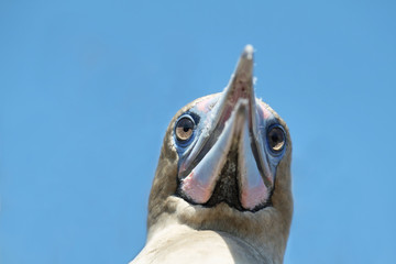 Red-footed Booby in Genovesa island