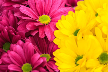 Purple and yellow chrysanthemum floral background