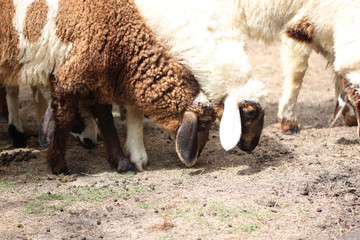 White and brown sheep.