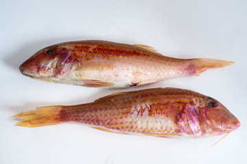 Two raw red fishes (mullus barbatus)
