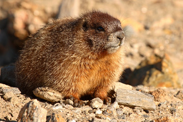 A portrait of a juvenile Yellow-bellied Marmot in Colorado