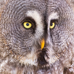 Great Grey Owl or Lapland Owl (Strix nebulosa)