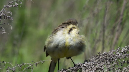 female Yellow wagtail sitting on a branch