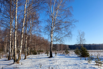 Horizontal landscape with birches glove