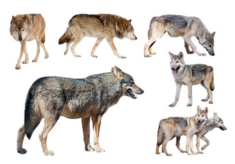 few wolves. Isolated  on white