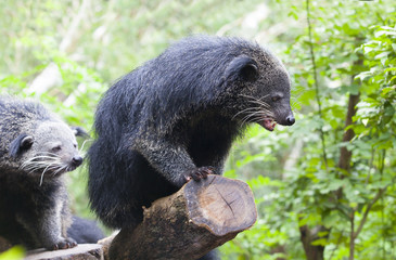 close up binturong in nature wild