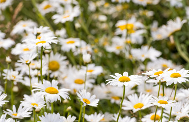 Closeup of flowering ox-eye daisies