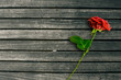 Red rose on dark wood background