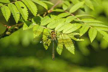 Yellow damselfly sitting on a green leaf