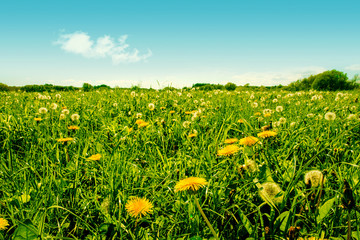 Colorful green dandelion field with many flowers