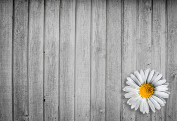 Bright wood background with a marguerit flower