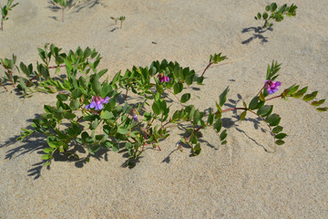 Blossoming a rank seaside (Lathyrus maritimus L. )