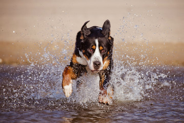 happy dog running on water