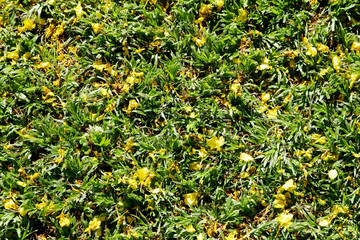 Yellow mosaic of Yellow African wattle flower on green grass