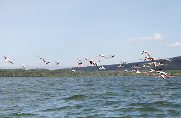 Beautiful Lesser Flamingos at Lake Naivasha