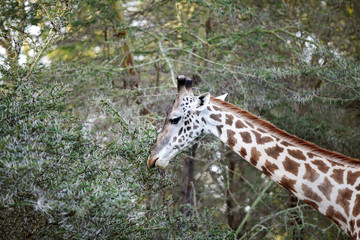 A beautiful Giraffe in the jungle of lake Naivasha