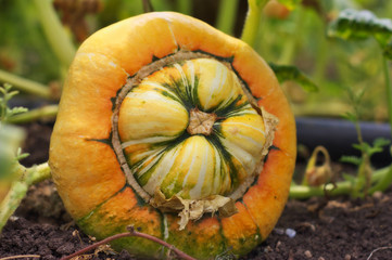 A pumpkin in the garden