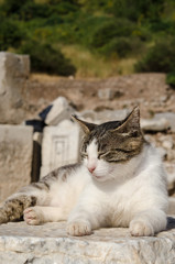 トルコの遺跡で居眠りする猫