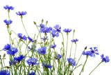 Fototapety blue cornflowers