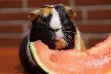 Meerschweinchen schlabbert Melone