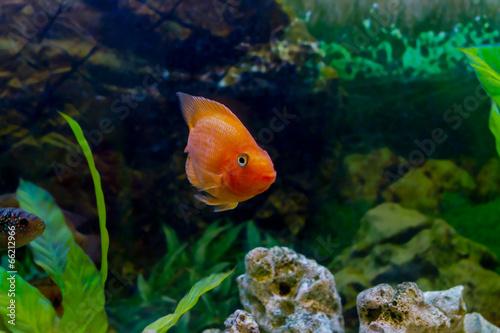 Foto op Plexiglas Papegaai beautiful aquarium decorative orange parrot fish