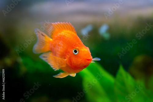 Keuken foto achterwand Papegaai beautiful aquarium decorative orange parrot fish