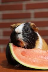 Meerschweinchen futtert Melone