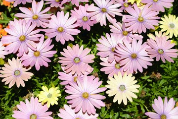 pink and yellow daisies family