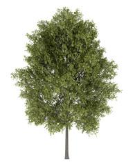 poplar tree isolated on white background