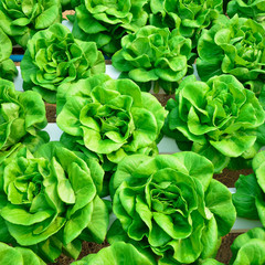 green lettuce, cultivation hydroponics vegetable in farm