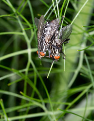 Sarcophaga flies mating in fennel plant. Aka Flesh flies.