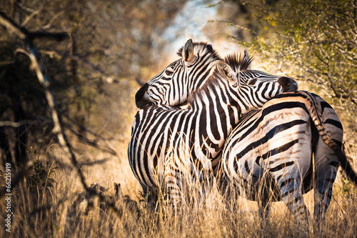 fototapeta na ścianę Zebra in love