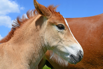 Head of a foal