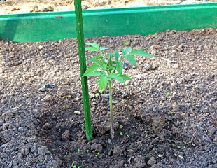 Young tomato plant in the garden bed