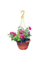 Hanging flowerpot with pink flowers of petunia