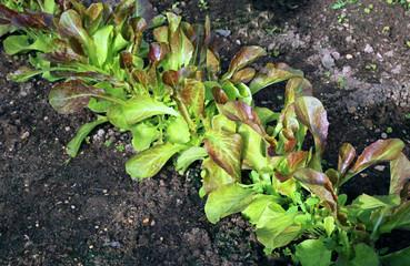 Young plants of arugula salad