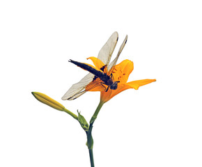 Dragonfly sitting on a flower daylily isolated