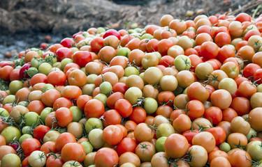 Tomaten Überproduktion