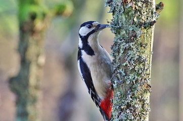 Woodpecker an a tree