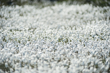 field of bog cotton flowers