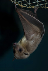 night bat