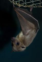 night bat
