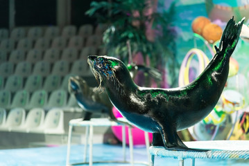 Sea bear in dolphinarium show
