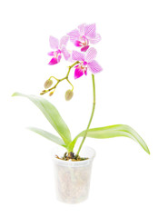 orchid flower in flowerpot isolated on white background